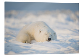 Acrylic print  Young Polar bear on pack ice - Steve Kazlowski