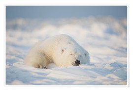 Premium poster  Young Polar bear on pack ice - Steve Kazlowski