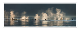 Premium poster  Killer whales on the water surface - John Hyde