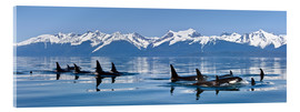 Acrylic print  A group of Orcas - John Hyde