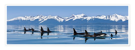 Premium poster  A group of Orcas - John Hyde