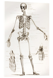 Acrylic print  The Human Skeleton - Wunderkammer Collection