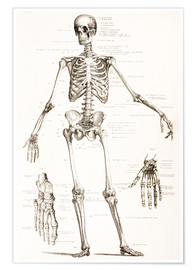 Premium poster  The Human Skeleton - Wunderkammer Collection