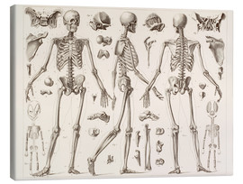 Canvas print  Skeleton Of A Fully Grown Human - Wunderkammer Collection