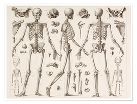 Premium poster  Skeleton Of A Fully Grown Human - Wunderkammer Collection