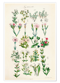 Premium poster  British wildflowers - Sowerby Collection