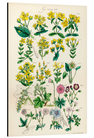 Aluminium print  British wildflowers - Sowerby Collection