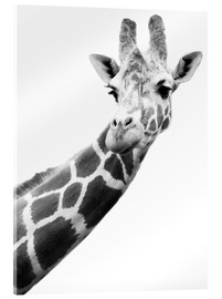 Acrylic print  Giraffe in black and white - Darren Greenwood