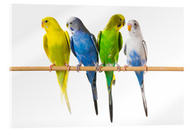 Acrylic print  Budgies on a perch - Corey Hochachka