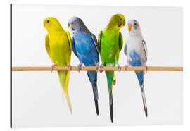 Alu-Dibond  Budgies on a perch - Corey Hochachka