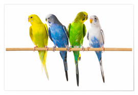 Premium poster  Budgies on a perch - Corey Hochachka
