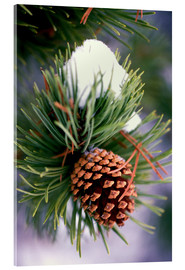 Acrylic print  Pine with cones - Craig Tuttle