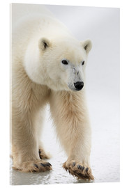 Acrylic print  Polar Bear - Richard Wear