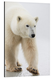 Aluminium print  Polar Bear - Richard Wear