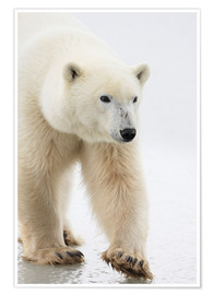 Premium poster  Polar Bear - Richard Wear