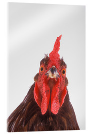 Acrylic print  Rooster - Kitchin & Hurst