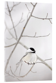 Acrylic print  Bird on a branch - Richard Wear