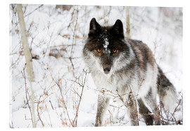 Acrylic print  Wolf In The Snow - Richard Wear