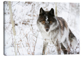 Canvas print  Wolf In The Snow - Richard Wear