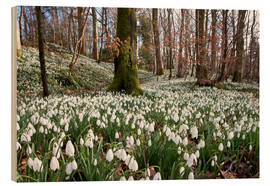 Wood print  Snowdrop - John Short