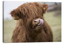 Canvas  Highland Cattle Licking It's Lips - John Short