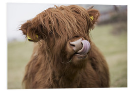 Forex  Highland Cattle Licking It's Lips - John Short