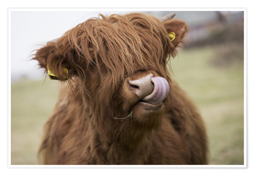 Premium poster Highland Cattle Licking It's Lips