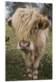 Foam board print  Shaggy highland cattle - John Short