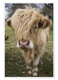 Premium poster Shaggy highland cattle