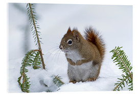 Acrylic print  Red squirrel - Philippe Henry