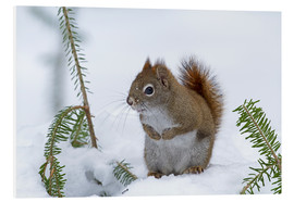 Foam board print  Red squirrel - Philippe Henry