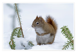 Poster  Red squirrel - Philippe Henry