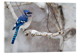 Acrylic glass  Blue Jay in snow - Philippe Henry