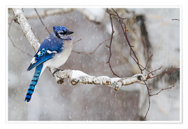 Premium poster  Blue Jay in snow - Philippe Henry