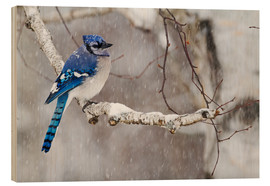 Wood print  Blue Jay in snow - Philippe Henry