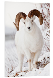 Doug Lindstrand - Curl Dall Sheep