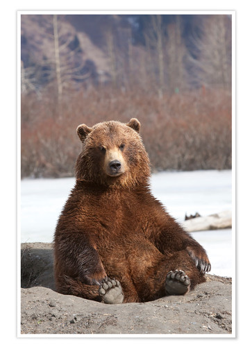 Premium poster sitting Brown Bear