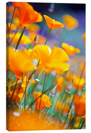 Canvas print  California Poppies - Craig Tuttle