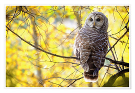 Premium poster  owl on branch - Steve Nagy