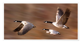 Premium poster Canada Geese In Flight