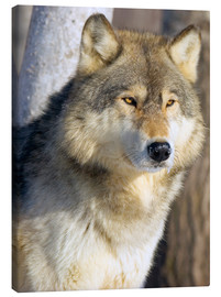 Canvas  Timber Wolf - John Pitcher