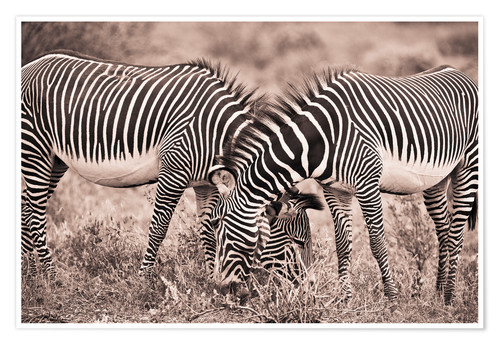 Premium poster Two Zebras Grazing Together