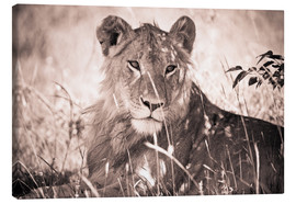 Canvas print  Lioness between grasses - David DuChemin
