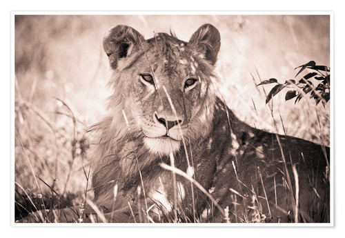 Premium poster Lioness between grasses