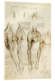 Acrylic print  Muscles of shoulder, arm and neck - Leonardo da Vinci