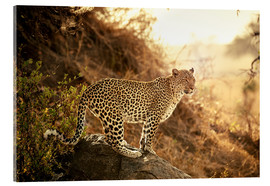 Acrylic glass  female Leopard at sunset - Jürgen Ritterbach