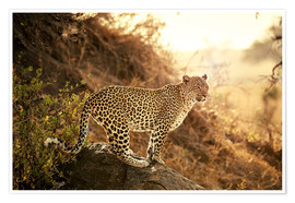 Premium poster female Leopard at sunset