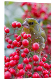 Acrylic glass  Greenfinch - Thomas Herzog