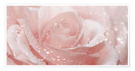 Premium poster  Rose with drops - Atteloi