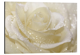 Aluminium print  White rose with drops - Atteloi
